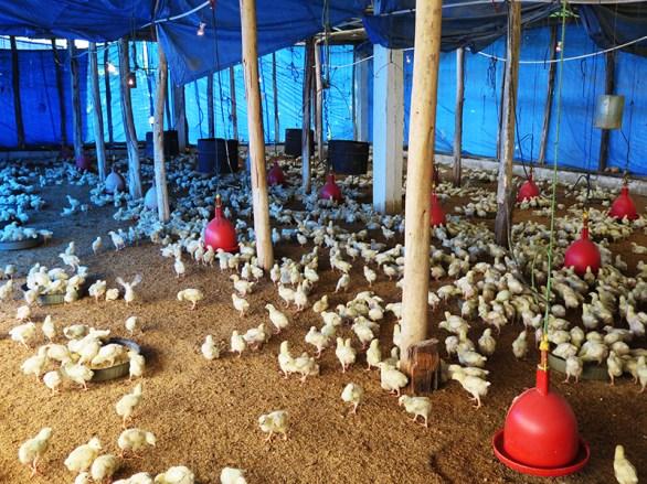 Granja de pollos 2