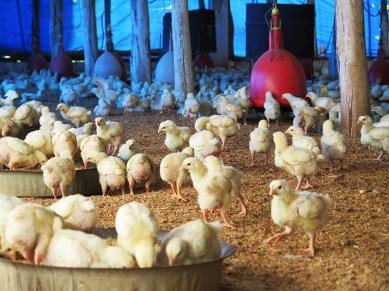 Granja de pollos 3