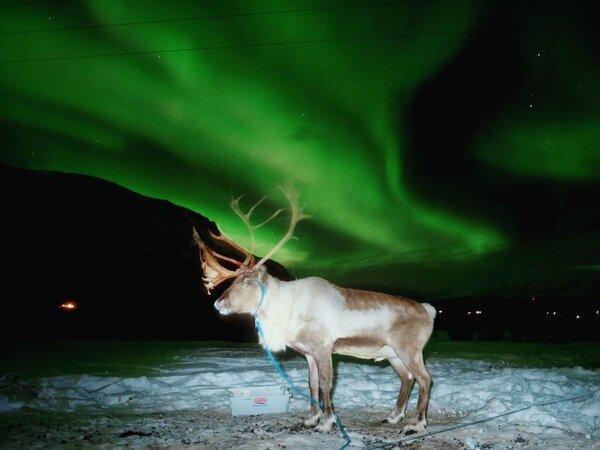 Ziemeļbriedis