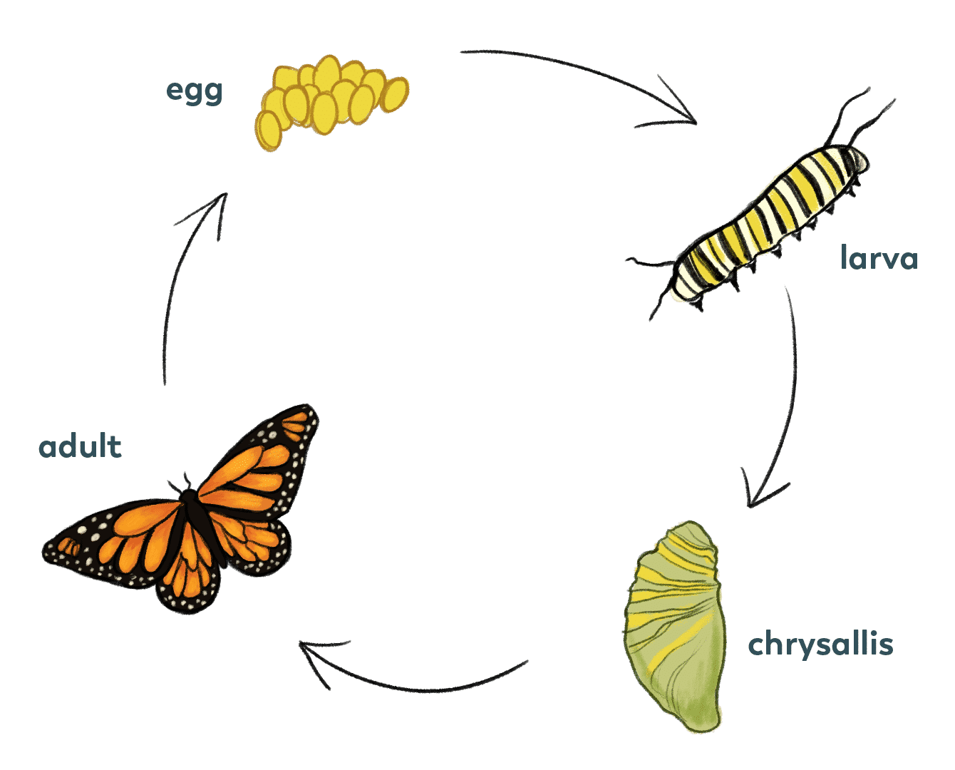Luthfiannisahay Life Cycle Of Butterfly Still Model