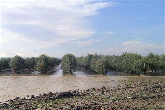 Olivar inundado (3)