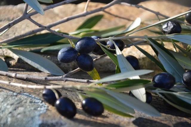 Olives noires de Nyons pour huile d'olive de la Drôme provençale