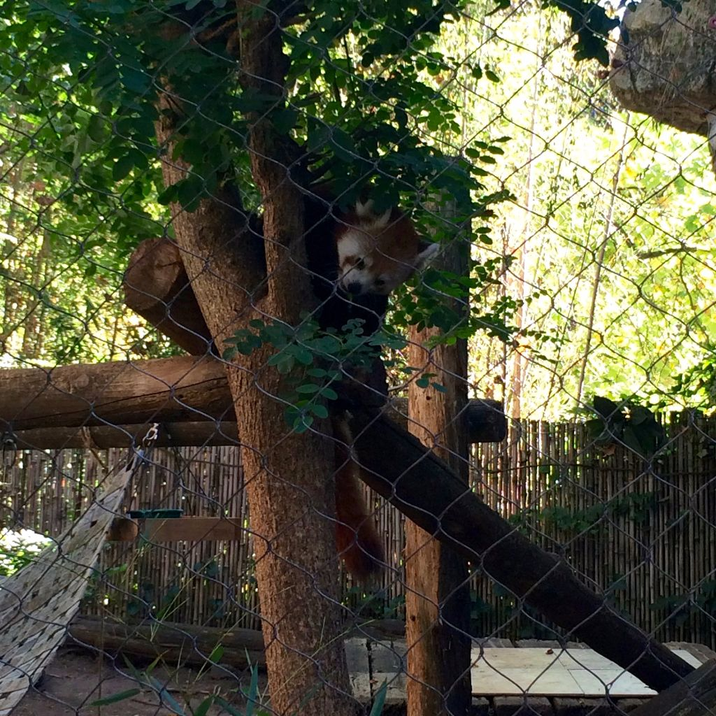 Philly Zoo Red Panda Snacking