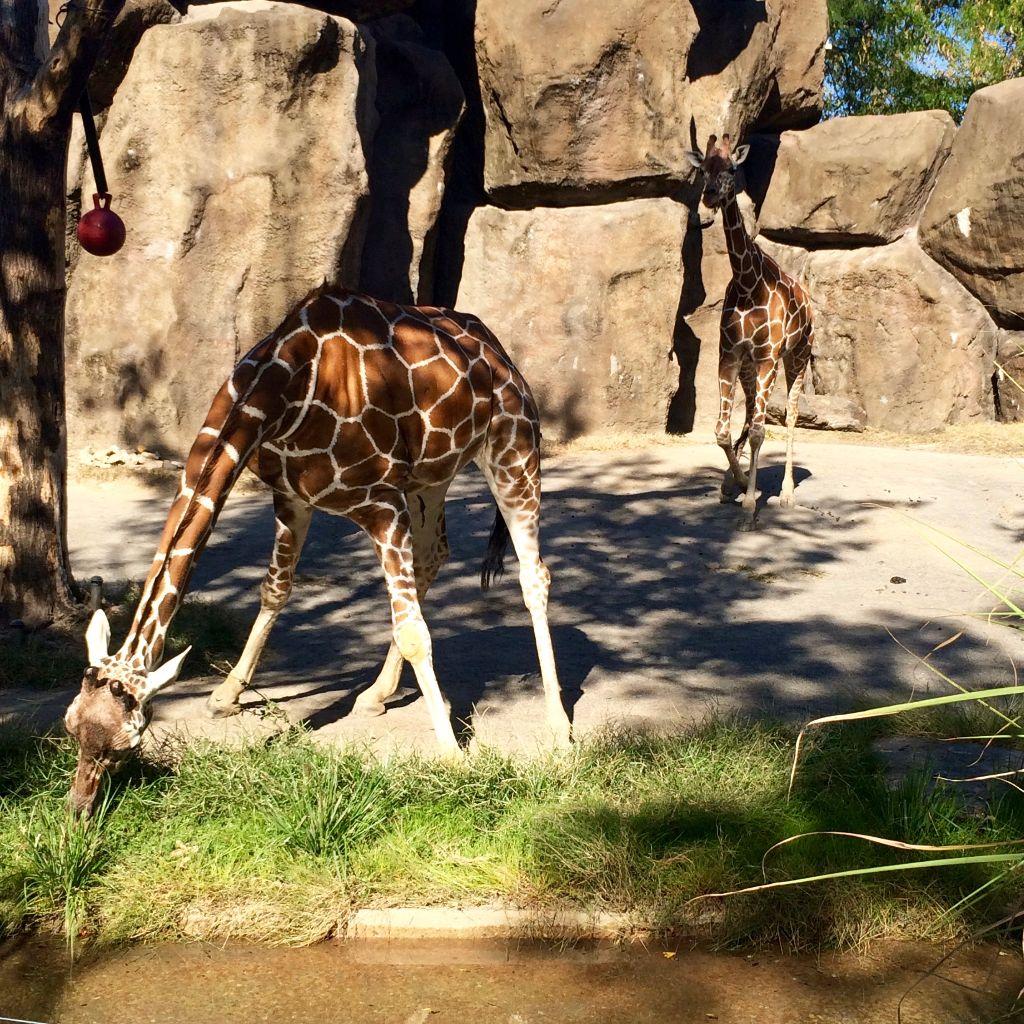 Philly Zoo Giraffes