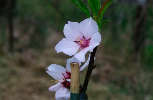 Die Mandel II | Herkunft und Botanik