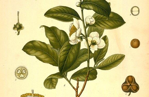 Camellia Thea