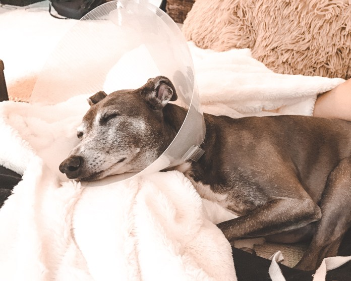 Italian Greyhound after surgery