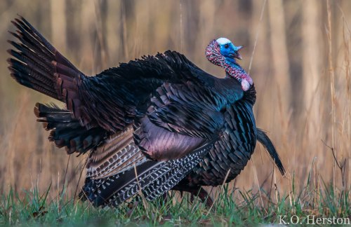 Wild Turkey, Great Smoky Mountains National Park