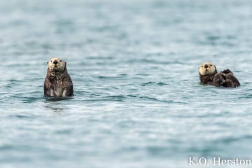 curious sea otters