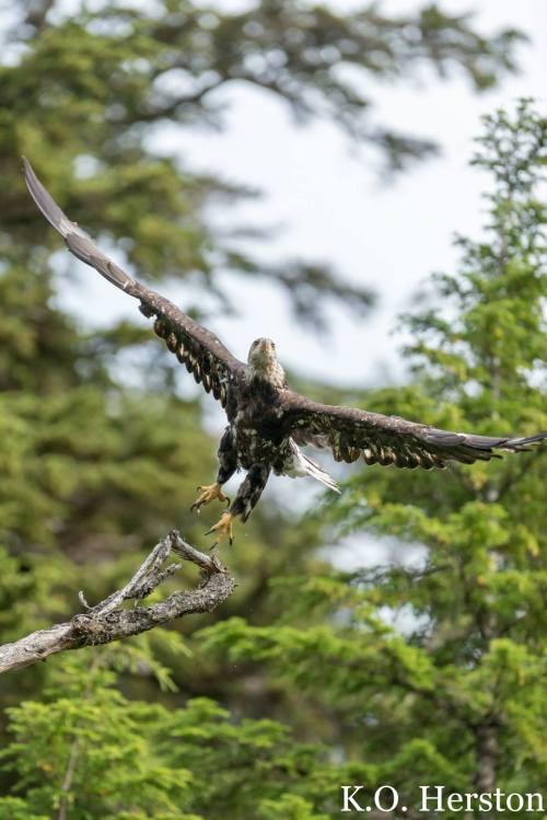 mottled bald eagle
