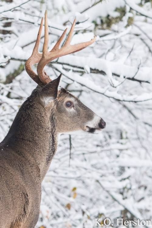 snowy buck profile