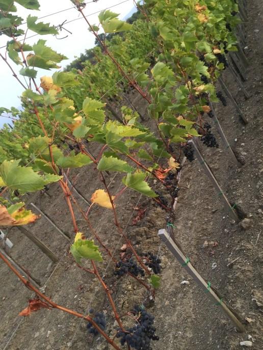 Wine Grapes!