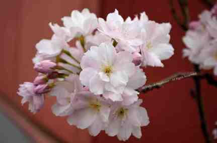 Japanese Cherry Blossom © Stefanie Neumann - All Rights Reserved.