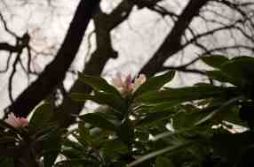 Rhododendron I © Stefanie Neumann - All Rights Reserved.