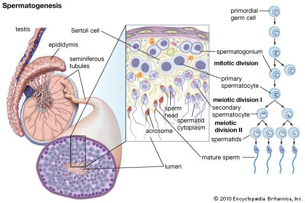 https://www.hesch.ch/images/sampledata/Spermatogenese-3.jpg