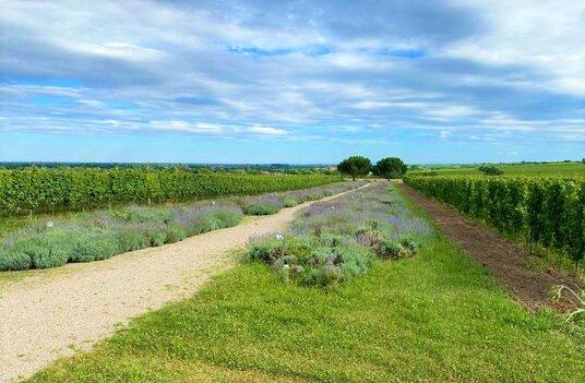 Biodynamischer Anbau Lavendelfeld Bed & Wine zu Besuch beim Weingut Dr. Buerklin-Wolf