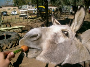 The knowing look of the triumphant winner. Donkey at Walkerville Farmers Market, Gauteng, South Africa