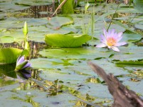Water lilies in our secret pond deep down in the river valley