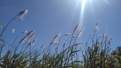 Sugar cane plumes-3