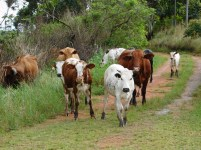 Nguni cattle following us on River Sand Road