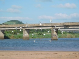 Seagulls at Mtwalume River