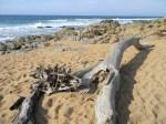 Driftwood on Ifafa Beach, KwaZulu-Natal, RSA