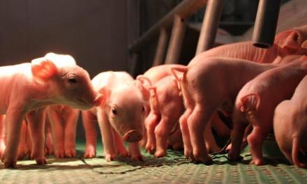 Denkt u het beste idee van varkensland te hebben?