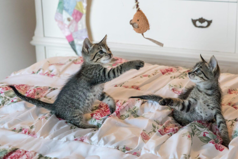 Het Gezinsleven - Lifestyle - Hobby's - Help ik wil een kat kopen! Wat nu? - 2 kittens spelend op bed