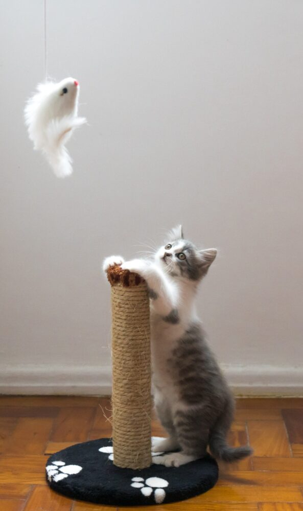 Het Gezinsleven - Lifestyle - Hobby's - Help ik wil een kat kopen! Wat nu? - Kat speelt met een speeltje en zijn krabpaal