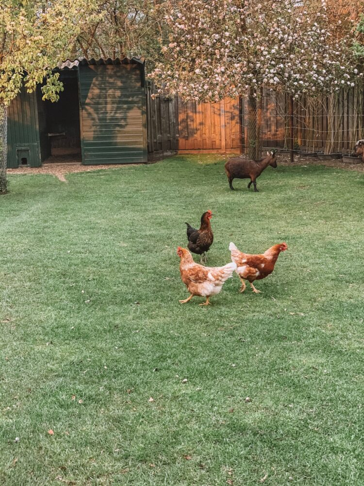 Het Gezinsleven - Lifestyle - Huishouden - Huisdieren - Hoe start ik met het houden van kippen? Alle voor- en nadelen. - Kippen scharrelen rond