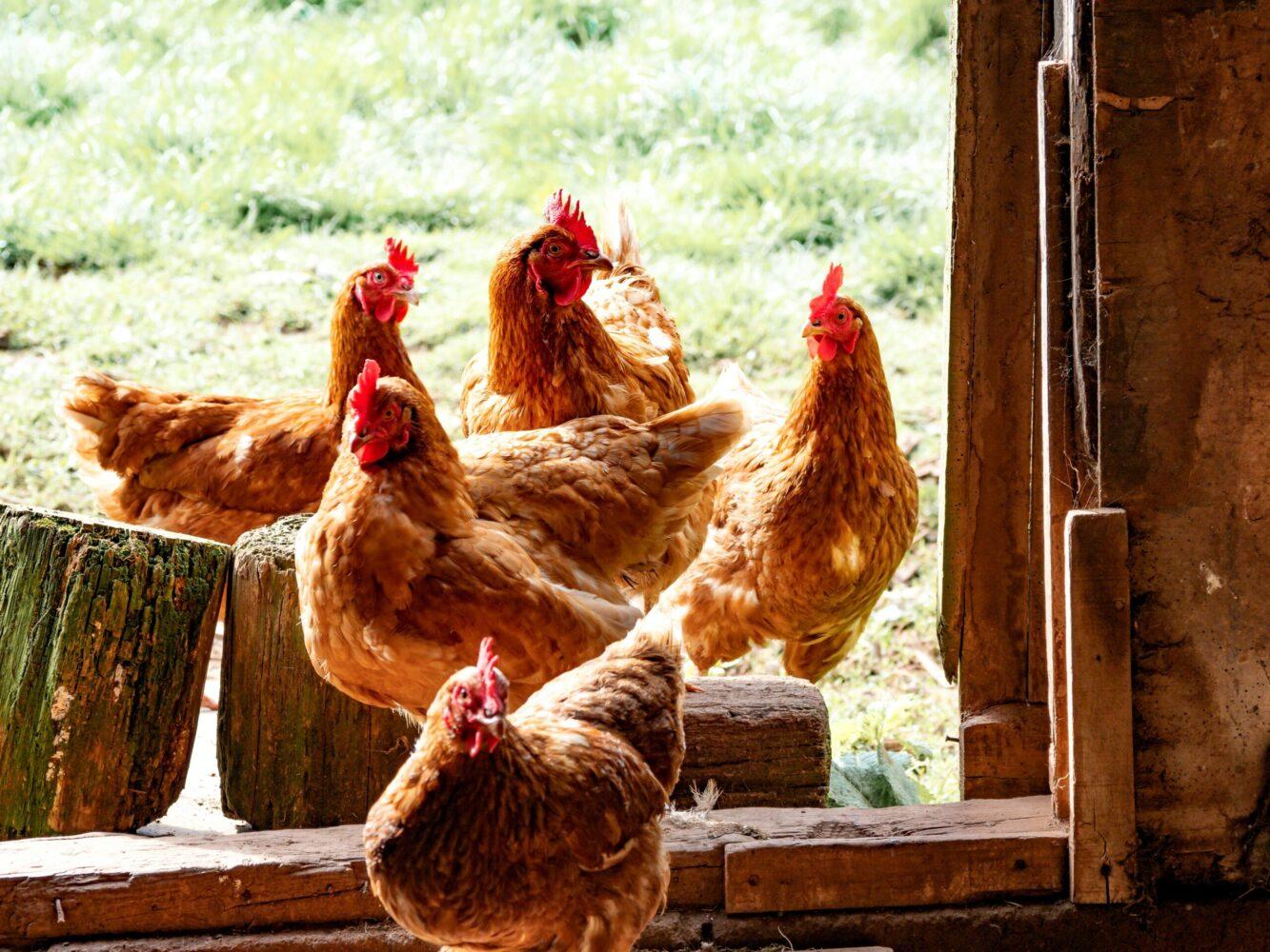 Het Gezinsleven - Lifestyle - Huishouden - Huisdieren - Hoe start ik met het houden van kippen? Alle voor- en nadelen. - Kippen huisvesting
