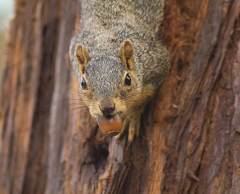 A brown squirrel on a tree with an acorn in its mouth