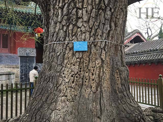 a tree is scarred with holes from years of kung fu practice at the shaolin temple in china