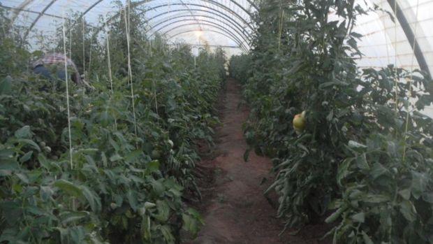 Теплица с овощами в Джазире