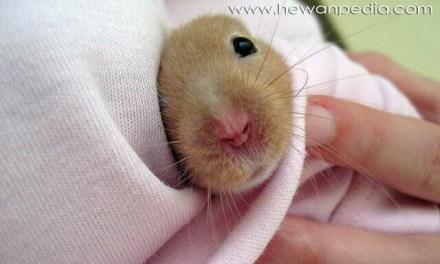 Penyakit pada Hamster dan Pengobatannya