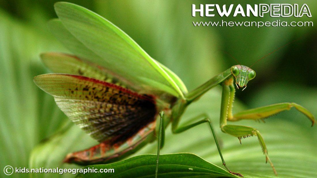 belalang sembah - Hewanpedia