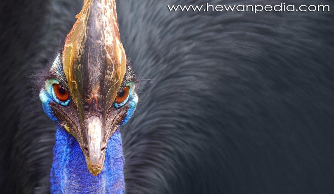 440 Koleksi Gambar Hewan Burung Kasuari Gratis Terbaik