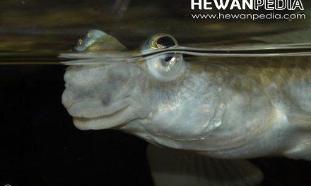 Ikan empat mata ( Anableps anableps )