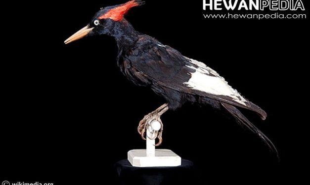 Burung Pelatuk Raja