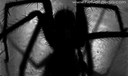 Cara dan Pertolongan Pertama Terkena Gigitan Laba-laba