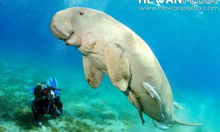 Mengenal Dugong