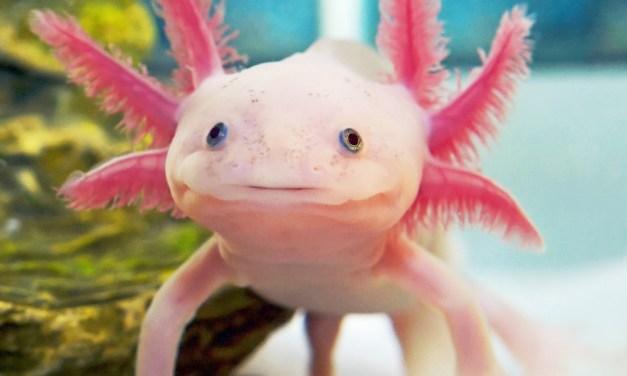 Axolotl Salamander Langka dari Mexico