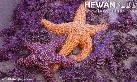 11 Fakta Menarik Mengenai Bintang Laut