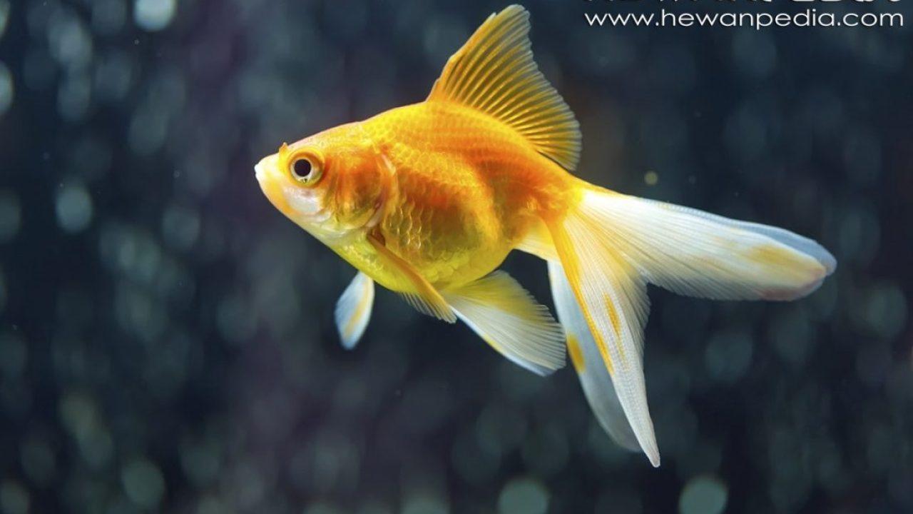 4 Makanan Ikan Koki Supaya Sehat Dan Cepat Besar Hewanpedia