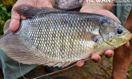 5 Langkah Sederhana Awali Budidaya Ikan Gurame