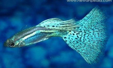 15 Jenis Ikan Hias Aquarium Air Tawar Yang Mudah Dipelihara Dirumah