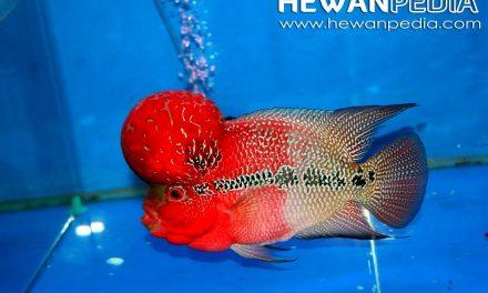 6 Tahapan Cara Memelihara Ikan Louhan