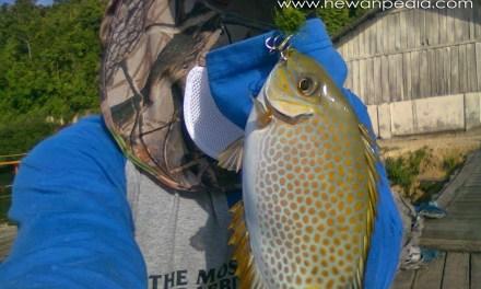 8 Cara Jitu Teknik Mancing Ikan Baronang