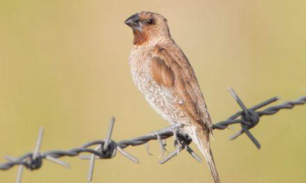 Burung Bondol Jawa dan Fakta Menariknya