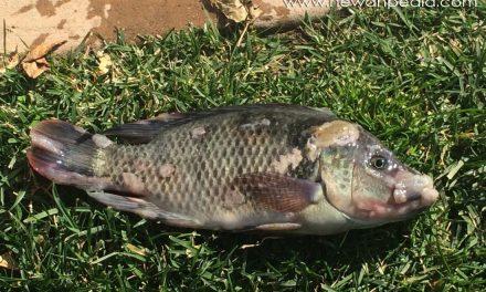 Cara Pengobatan Dan Pencegahan Penyakit Ikan